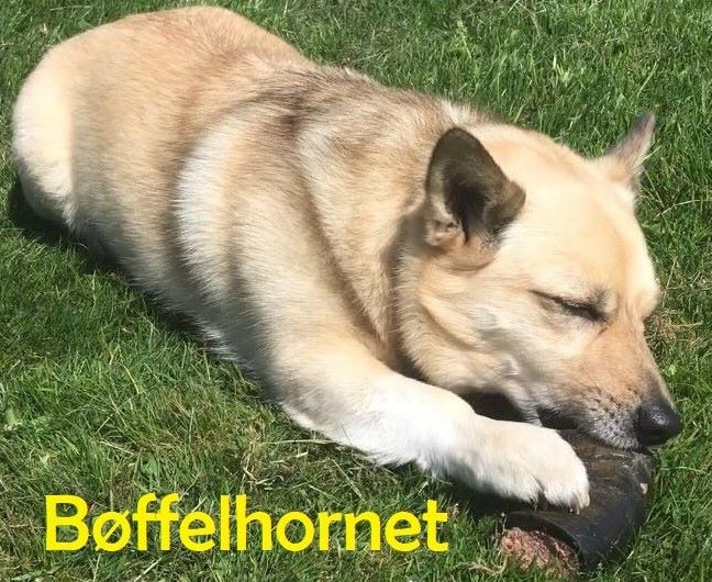 Hundeis Bøffelhorn