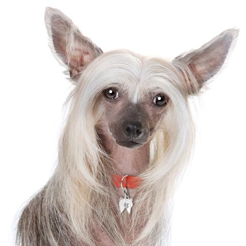 My Family | Hundetegn Chinese Crested