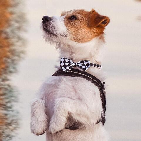 Hundebutterfly i satin | Ass. Sort/hvid | Wilfred Jack Russel Terrier
